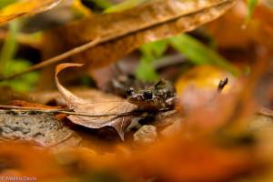cow-knob-salamander