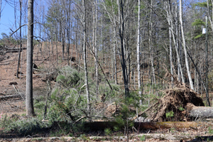 Wind Thrown Trees Adjacent Cleared Corridor, Stover Shop Road, Augusta County, 3/3/18